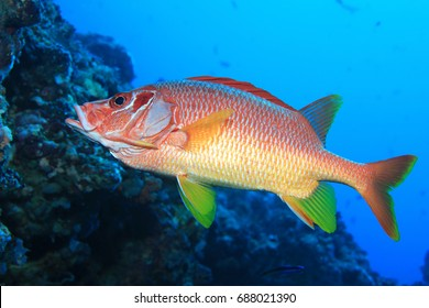 Giant Squirrelfish (Sargocentron spiniferum) underwater in the tropical coral reef of the indian ocean