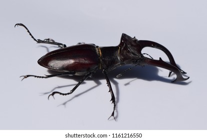 Giant stag beetle in Mississippi
