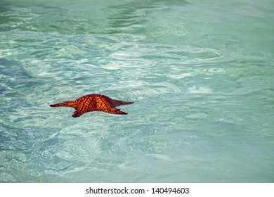 A giant starfish floats away from a tour boat off Exuma Island, Bahamas.