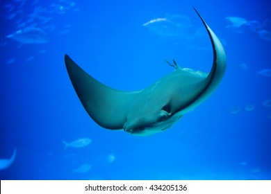 The giant stingray in deep blue sea