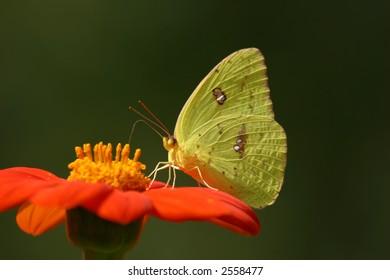 Giant Sulphur Butterfly