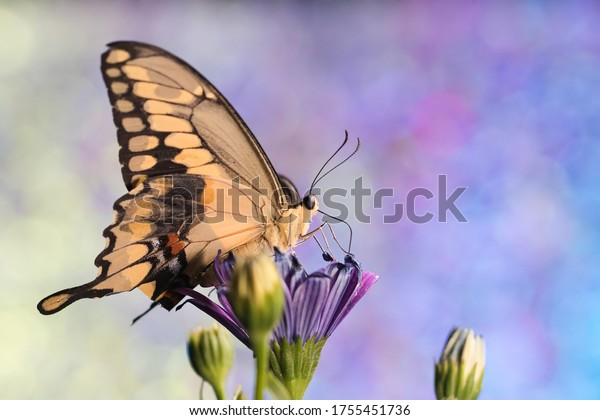 Giant swallowtail butterfly on blue daisy