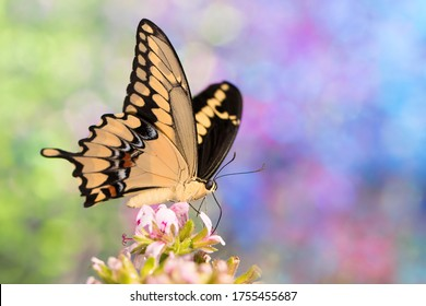 Giant swallowtail butterfly on mosquito plant