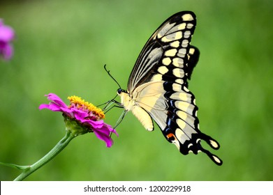 Giant swallowtail butterfly on a pink zinnia