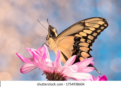 Giant swallowtail butterfly on pink daisy