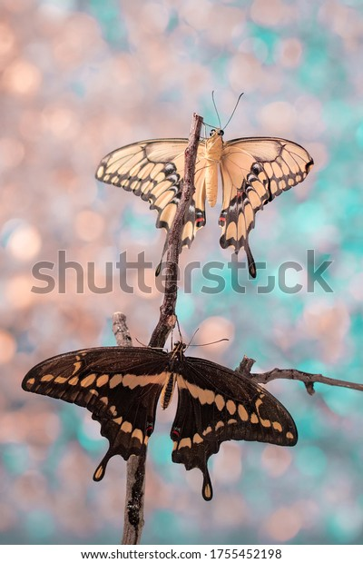 Giant swallowtail butterfly on twig