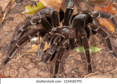 Giant Tarantula (Pamphobeteus sp.) in Tambopata National Reserve, Peru
