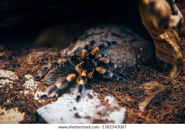 Giant Tarantula Spider Zoo High Iso Stock Photo Edit Now