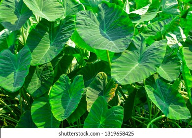 Giant taro or Albino , large, succulent taro family, green leaves, let Carbo hydrate and starch like and grow in wet tropical wetlands.