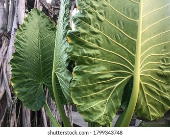 The giant taro was originally domesticated in the Philippines, but are known from wild specimens to early Austronesians in Taiwan