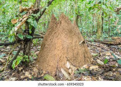Giant Termite (Macrotermes sp.) mound on the rainforest floor near the Rio Shiripuno in the Ecuadorian Amazon. Macrotermes cultivate a fungus within their nest on which they feed.