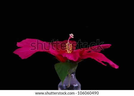 Giant Texas Star Hibiscus Hibiscus Coccineus Stock Photo Edit Now