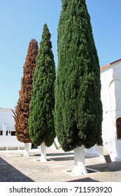 Giant thuja trees with different colours