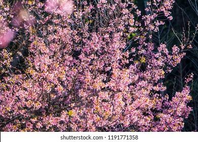 Giant Tiger, Prunus cerasoides, Wild Himalayan Cherry, Nan, Thailand.
