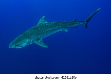 Giant tiger shark swims in the deep blue water