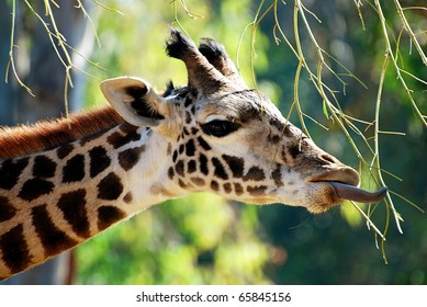 Giant tongue of a giraffe reaching for the perfect branch