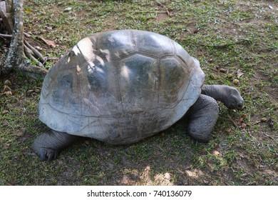 Giant tortoise Aldabra portrait. Seychelles islands