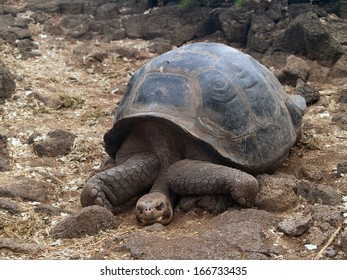 Giant tortoise at the Charles Darwin Research Station on Santa Cruz Island in the Galapagos chain, Ecuador