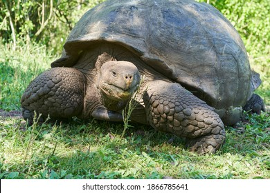 Galápagos giant tortoise, Chelonoidis nigra, walking on Santa Cruz island, Ecuador, South America, is the largest living species of tortoise and with lifespans of over 100 years