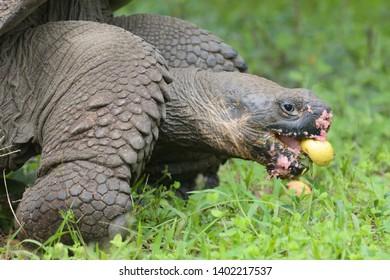 Giant Tortoise (Chelonoidis porter) feeding on fallen Guava fruit on Santa Cruz Island in the Galapagos Islands, Ecuador, South America.