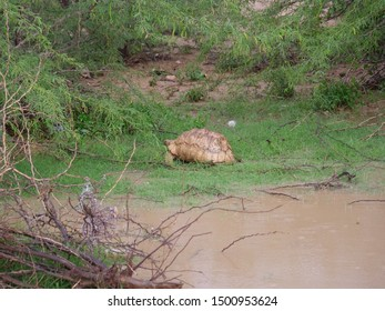 A giant tortoise climbing out the water in Somaliland