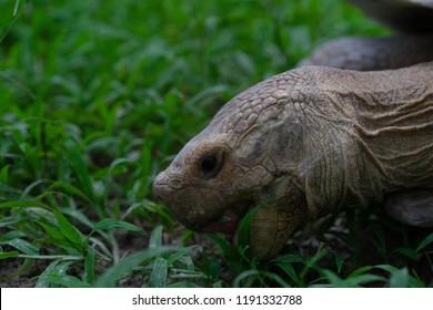 Giant tortoise Eat grass