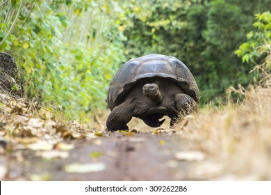 Giant tortoise in El Chato Tortoise Reserve, Galapagos islands (Ecuador)