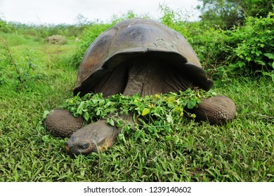 Giant tortoise of Galapagos