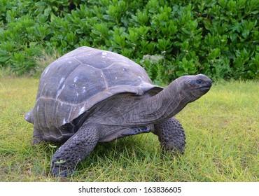 Giant tortoise (Geochelone gigantea). Bird Island, Seychelles.
