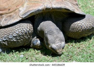 Giant tortoise in a grass field