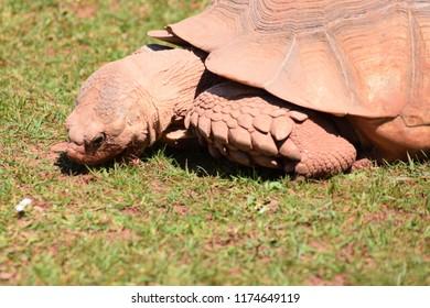 Giant tortoise, grazing