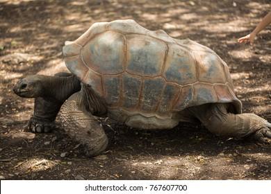 Giant tortoise in Mauritius.