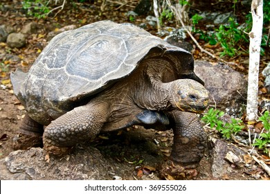 A giant tortoise on the island of San Cristobal in the Galapagos Islands, Ecuador