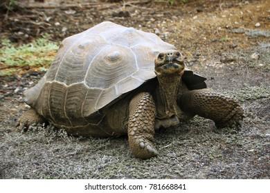 Giant tortoise on the Galápagos Islands