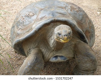 Giant tortoise on the move