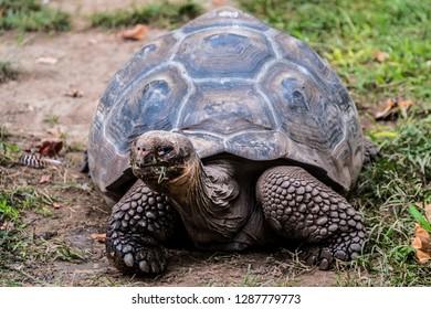 Giant tortoise of seychelles