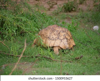 A giant tortoise in Somaliland