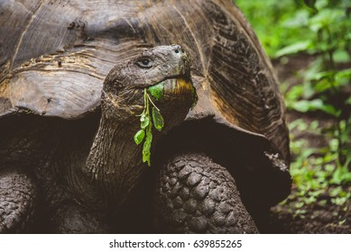 Giant tortoise (tortuga) on the Galapagos Islands