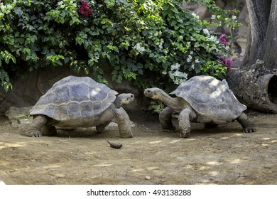 Giant tortoise walking
