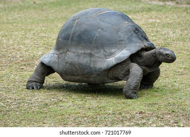 Giant tortoise walking over grassland with eyes closed