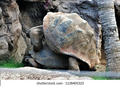 giant tortoises, turtles fucking, turtles having sex, turtles doing intercourse, turtles procreate,