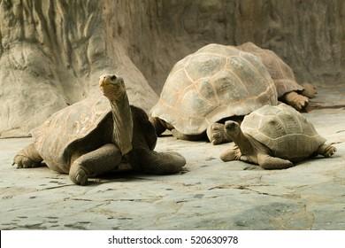 Giant Tortoise/Turtle, Zoo Prague, Czech Republic