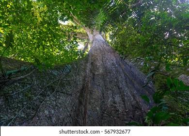 Giant tree of the Ceiba family in the Amazon jungle.