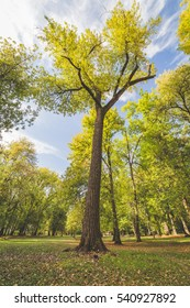 Giant tree with green leaves under bright blue sky in summer time.