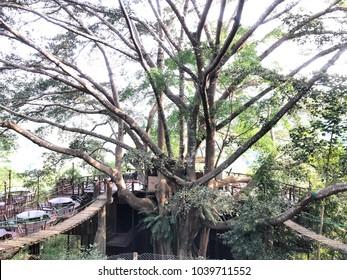 Giant tree at Mae Khampong