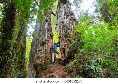 Giant tree in rain forest . Beautiful landscapes in Pumalin Park, Carretera Austral, Chile.