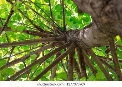Giant tree (Wild cinchona) at Chulalongkorn University, Bangkok, Thailand. Looking up towards the canopy.