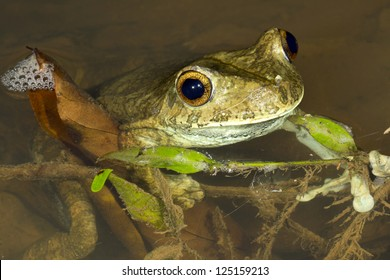 Giant Treefrog (Hypsiboas boans) at the edge of a river in the Ecuadorian Amazon