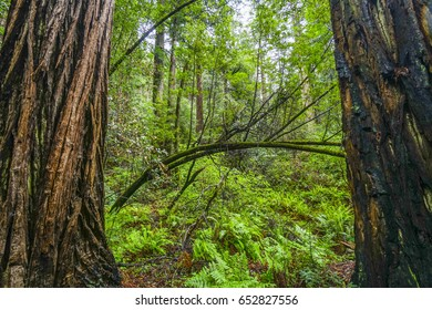 The giant trees of the Redwood Forest
