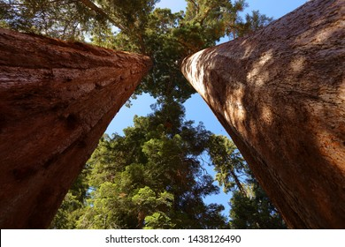 Giant Trees Of Sequoia National Park